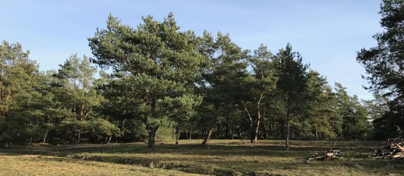 Pflege der Binnendüne oder Baumfrevel ?